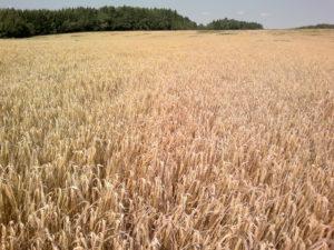 Streifenanlage am Tag der Ernte